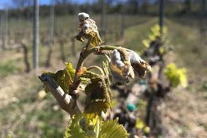 Danni da gelate di aprile 2021, è attiva la ricognizione dei danni alle imprese agricole
